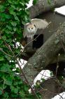 Barn Owl by Bob Newton