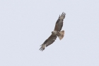 Long-legged Buzzard by Mick Dryden