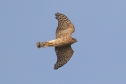 Sparrowhawk by Mick Dryden