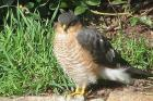 Sparrowhawk by John Banks