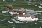 Guillemots by Keith Pyman