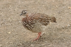 Crested Francolin by Mick Dryden