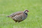 Red-legged Partridge bt Romano da Costa