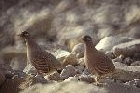 Sand Partridges by Mick Dryden