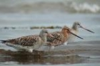 Bar tailed Godwit by Romano da Costa