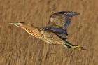 Bittern by Tim Ransom