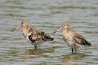 Black-tailed Godwit by Romano da Costa