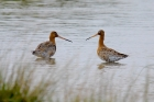 Black tailed Godwits by Dave Warncken