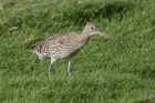 Curlew by Mick Dryden