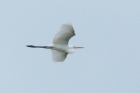 Great White Egret by Mick Dryden