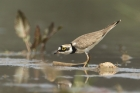 Little Ringed Plover by Alan Modral