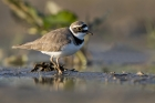 Little Ringed Plover by Romano da Costa