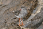 Common Redshank by Mick Dryden
