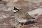 Ringed Plover by Mick Dryden