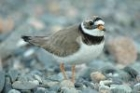 Ringed Plover by Romano da Costa