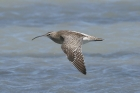 Whimbrel by Mick Dryden