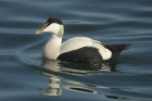 Common Eider by Mick Dryden