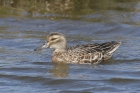 Garganey by Mick Dryden