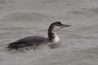 Great Northern Diver by Alan Gicquel