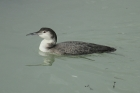 Great Northern Diver by Mick Dryden