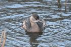 Little Grebe by Tony Paintin