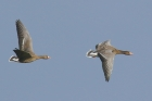 Whitefronted Geese by Mick Dryden
