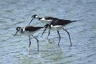Black necked Stilts by Mick Dryden