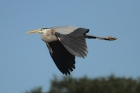 Great Blue Heron by Mick Dryden