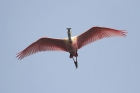 Roseate Spoonbill by Mick Dryden