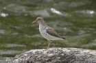 Spotted Sandpiper by Mick Dryden