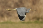 Tri-colored Heron by Mick Dryden