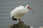 White Ibis by Mick Dryden