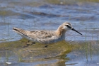 Wilson's Phalarope by Mick Dryden