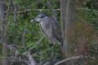 Yellow crowned Night Heron by Mick Dryden
