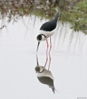 Black winged Stilt by Tim Ransom