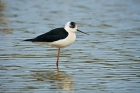Black winged Stilt by Paul Marshall