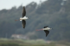 Black winged Stilts by Mick Dryden