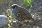 California Quail by Mick Dryden