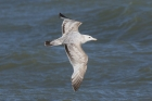 American Herring Gull by Mick Dryden