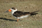 Black Skimmer by Mick Dryden