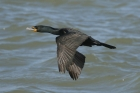 Double crested Cormorant by Mick Dryden