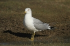 Ring-billed Gull by Mick Dryden