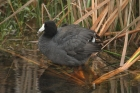 American Coot by Mick Dryden