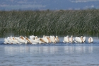 American White Pelicans by Mick Dryden