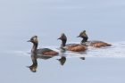 Black-necked Grebes by Mick Dryden
