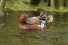 Cinnamon Teal by Mick Dryden