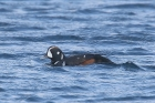 Harlequin Duck by Mick Dryden