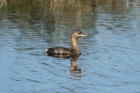 Pied-billed Grebe by Mick Dryden
