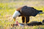 Bald Eagle by Miranda Collett