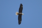 Bald Eagle by Mick Dryden